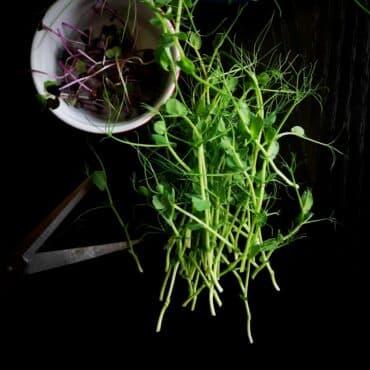 микрорастения репички и грах